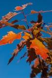 明亮的秋天橡木叶子 库存图片