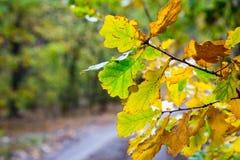 明亮的秋天橡木早午餐 库存图片