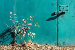 明亮的秋天灌木 削皮油漆绿松石纹理  铁门、锁和螺栓 库存照片