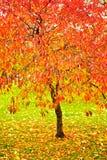 明亮的秋天留下红色 库存照片