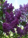 明亮的紫罗兰色淡紫色花的图片 库存图片