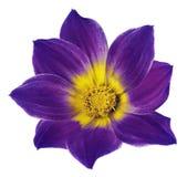 明亮的紫罗兰-一朵大丽花的桃红色花在白色的隔绝了与裁减路线的背景 为设计,纹理,明信片, w开花 免版税库存图片