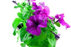 明亮的紫色喇叭花塑料的罐 库存照片