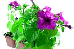 明亮的紫色喇叭花塑料的罐 免版税图库摄影