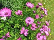 明亮的紫色海角延命菊雏菊花 免版税库存图片