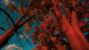明亮的红槭叶子 影视素材