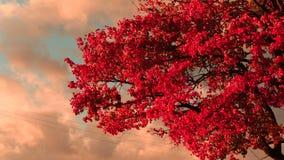 明亮的红槭叶子 股票录像