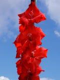 明亮的红色剑兰花 库存图片