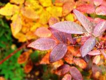 明亮的红色和黄色秋叶 免版税库存照片