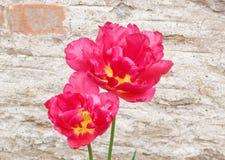 明亮的红色和黄色郁金香 免版税库存照片