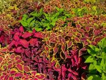 明亮的红色和绿色锦紫苏植物背景 免版税库存照片