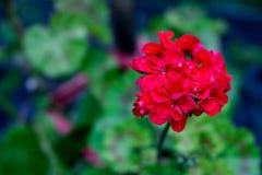 明亮的红色大竺葵在庭院里开了花 库存照片