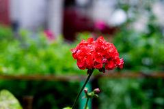 明亮的红色大竺葵 免版税库存图片