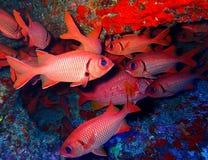 明亮的红色大被注视的灰鼠鱼水下的学校 库存照片