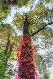 明亮的红色对天空的藤上升的杉树 免版税库存照片
