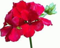 明亮的红色常春藤大竺葵花 库存图片