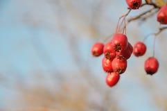 明亮的红色户外莓果特写镜头 库存图片