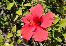 明亮的红色木槿花 库存图片