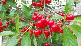 明亮的红色樱桃大收获在庭院里 免版税库存图片