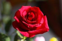 明亮的红色玫瑰芽 库存图片