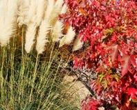 明亮的红色秋天叶子和蓬松杨柳 免版税库存照片