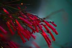 明亮的红色花在庭院里 库存图片