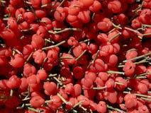 明亮的红色莓果麻黄equisetina 库存照片
