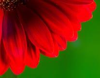 明亮的红色菊花花瓣和雄芯花蕊 库存图片