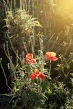 明亮的红色虞美人的领域在夏天阳光下开花 库存照片