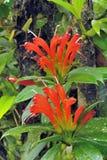 明亮的红色野花在雨林里。 库存图片