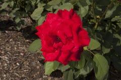 明亮的红色香水月季开花 库存图片