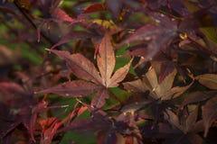明亮的红色鸡爪枫或Acer palmatum特写镜头在秋天庭院离开 免版税库存图片