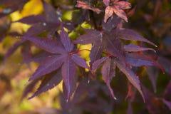 明亮的红色鸡爪枫或Acer palmatum特写镜头在秋天庭院离开 库存图片