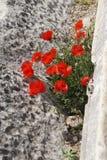 明亮的红色鸦片在希腊石废墟中增长 免版税库存图片