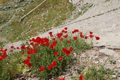 明亮的红色鸦片在希腊石废墟中增长 免版税图库摄影