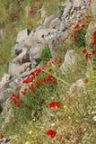 明亮的红色鸦片在希腊石废墟中增长 免版税库存照片