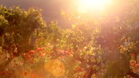 明亮的红色鸦片在葡萄园里 股票录像