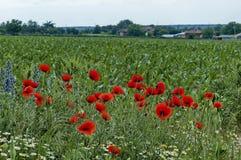 明亮的红色鸦片或罂粟属、春黄菊和蓝色杂草野花在近麦地由Ostrovo村庄 免版税图库摄影