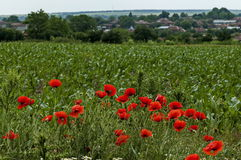 明亮的红色鸦片或罂粟属、春黄菊和蓝色杂草野花在近麦地由Ostrovo村庄 库存图片