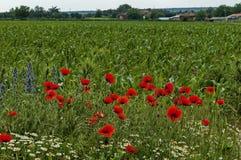 明亮的红色鸦片或罂粟属、春黄菊和蓝色杂草野花在近麦田由Ostrovo村庄 图库摄影