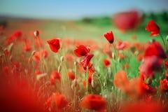 明亮的红色鸦片的领域在夏天开花 免版税库存图片