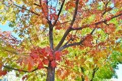 明亮的红色,黄色, &橙色秋叶 库存照片