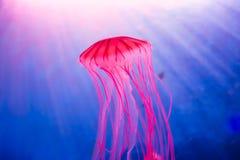 明亮的红色水母 免版税库存图片