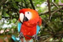 明亮的红色ara鹦鹉 免版税库存图片