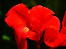 明亮的红色canna花在黑暗的背景中 库存图片