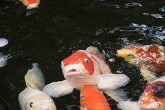 明亮的红色Koi鱼在一个开放池塘游泳 库存图片