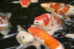 明亮的红色Koi鱼在一个开放池塘游泳 库存照片