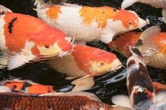 明亮的红色Koi鱼在一开放池塘、红色、白色和orang游泳 免版税库存图片