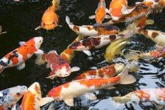 明亮的红色Koi鱼在一开放池塘、红色、白色和orang游泳 免版税库存照片