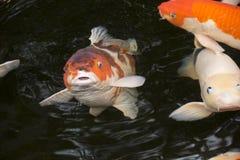 明亮的红色Koi鱼在一开放池塘、红色、白色和orang游泳 库存图片